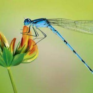 內向有蜻蜓